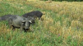 Porcs noirs frôlant dans le mangulica de champ passant par le tir 01 banque de vidéos