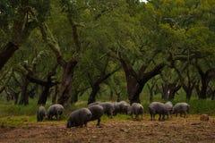 Porcs noirs sous les oliviers Photographie stock