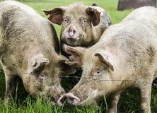 Porcs organiques Image stock