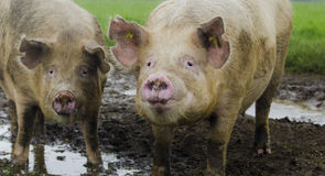 Porcs organiques Photographie stock libre de droits