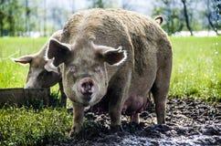 Porcs organiques Photographie stock