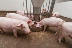 Ferme de porc Images libres de droits