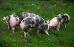 Porcs pietrian repérés de race frôlant à la ferme d'animaux sur le pâturage Images stock