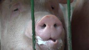 Porcs, porcs, porcs, animaux de ferme banque de vidéos