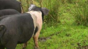 Porcs repérés mangeant des pommes banque de vidéos