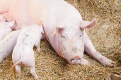 porcs roses Photos libres de droits