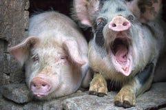 Porcs roses drôles dans la stalle Photo stock
