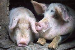 Porcs roses drôles dans la stalle Images stock