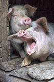 Porcs roses drôles dans la stalle Photographie stock libre de droits