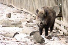 Porcs sauvages Photos libres de droits