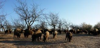 Porcs sauvages Photographie stock libre de droits