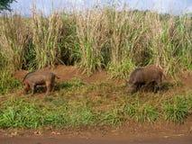 Porcs sauvages dans les montagnes sur l'île hawaïenne de Kauai Photo stock