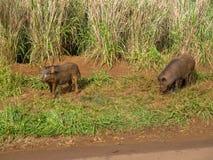 Porcs sauvages dans les montagnes sur l'île hawaïenne de Kauai Photos stock