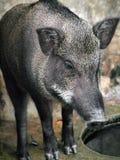 Porcs sauvages mis en cage Images libres de droits