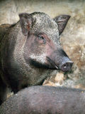 Porcs sauvages mis en cage Photos stock