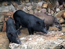 Porcs sauvages mis en cage Image stock