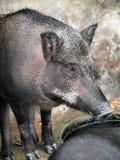 Porcs sauvages mis en cage Photos libres de droits
