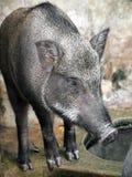 Porcs sauvages mis en cage Photo libre de droits