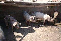 Porcs se cachant dans l'ombre Image libre de droits