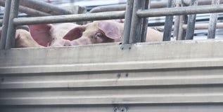 Porcs sur le chemin de camion à l'abattoir pour la nourriture Photos stock