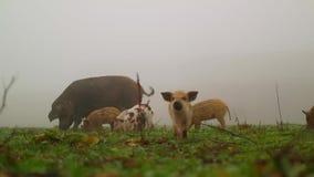 Porcs sur une pelouse verte banque de vidéos