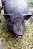 Porcs vietnamiens à la ferme Photos libres de droits