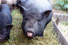 Porcs vietnamiens à la ferme Photo libre de droits
