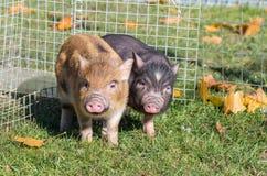 Porcs vietnamiens Images libres de droits