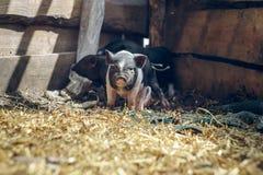 Porcs vietnamiens Photos libres de droits