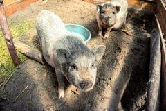 Porcs vietnamiens Image libre de droits