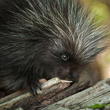 Porcupette (Erethizon dorsatum) Chews on Branch Stock Image