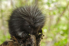 Porcupette (Erethizon dorsatum) Chews on Branch Stock Photo