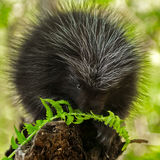 Porcupette (Erethizon dorsatum) Chews on Fern Stock Image
