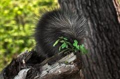 Porcupette (Erethizon-dorsatum) knaagt aan op Groen Stock Fotografie