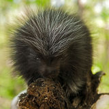 Porcupette (Erethizon dorsatum) Looks at Viewer Royalty Free Stock Image