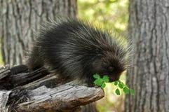Porcupette (Erethizon dorsatum) Sniffs at Greenery Stock Image