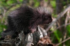 Porcupette (Erethizondorsatum) sträcker ut från filial Royaltyfri Fotografi