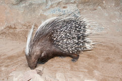 Porcupine ακρωτηρίων Στοκ Εικόνες