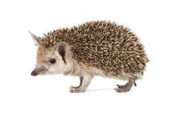 porcupine ανασκόπησης λευκό στοκ εικόνα