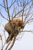 Porcupine ασφάλεια Στοκ Εικόνες