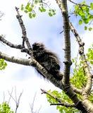 Porcupine κοιμισμένο σε ένα δέντρο στοκ εικόνα με δικαίωμα ελεύθερης χρήσης