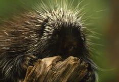 porcupine κούτσουρων Στοκ Φωτογραφίες