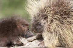 Porcupine μητέρα και μωρό Στοκ Εικόνες