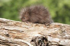 Porcupine μωρών που ερευνά ένα κούτσουρο Στοκ φωτογραφίες με δικαίωμα ελεύθερης χρήσης