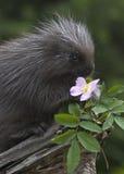 porcupine μωρών Στοκ φωτογραφία με δικαίωμα ελεύθερης χρήσης