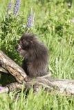 porcupine μωρών Στοκ Εικόνες