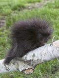 Porcupine μωρών Στοκ Φωτογραφία