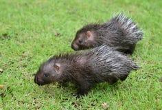 Porcupine μωρών Στοκ εικόνες με δικαίωμα ελεύθερης χρήσης
