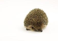 Porcupine που απομονώνεται λίγο στο λευκό Στοκ Φωτογραφία