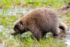 Porcupine που περπατά σε μια λακκούβα του νερού στοκ φωτογραφίες με δικαίωμα ελεύθερης χρήσης